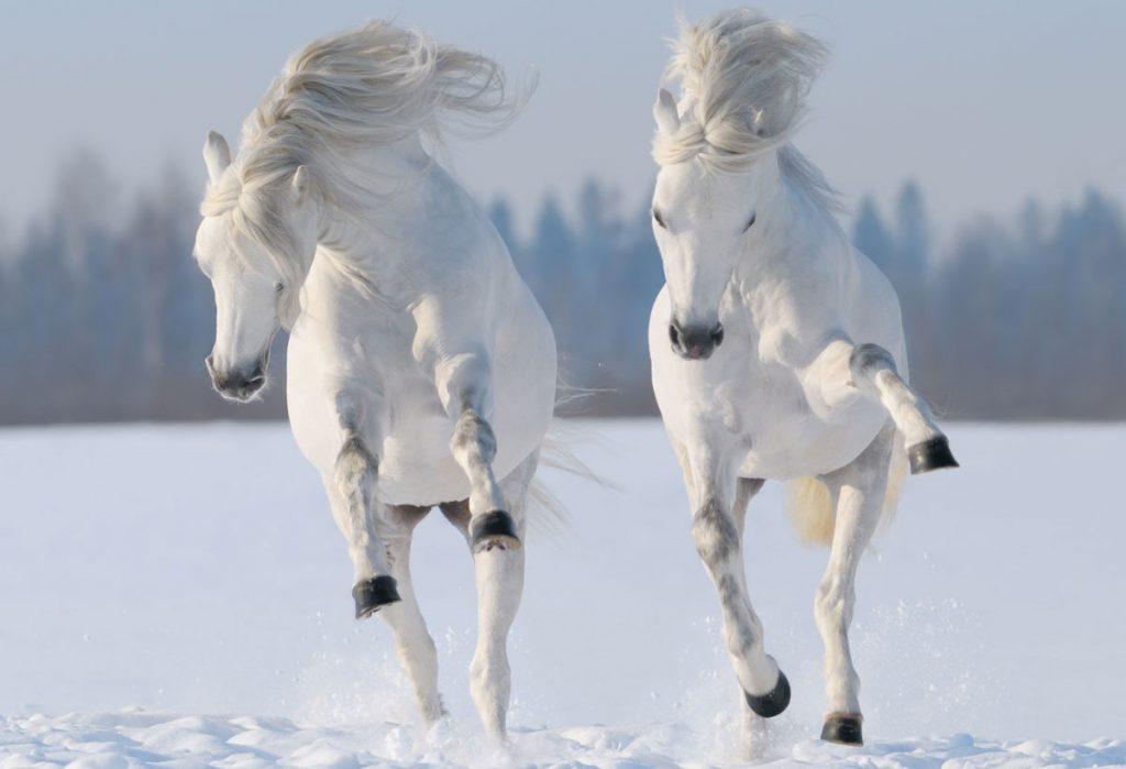 snow-horses