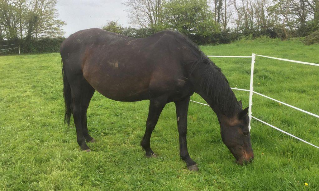 pregnant-mare