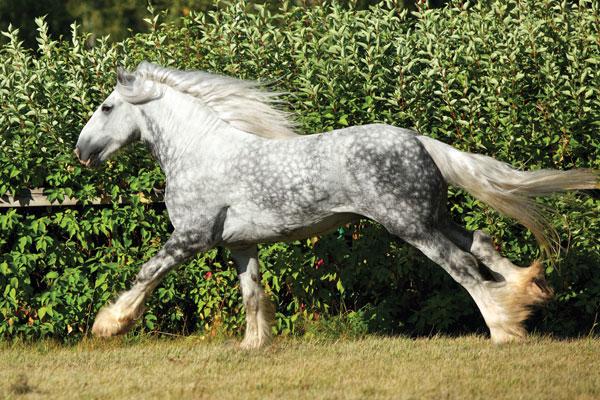 CHF-Heavy-Horse