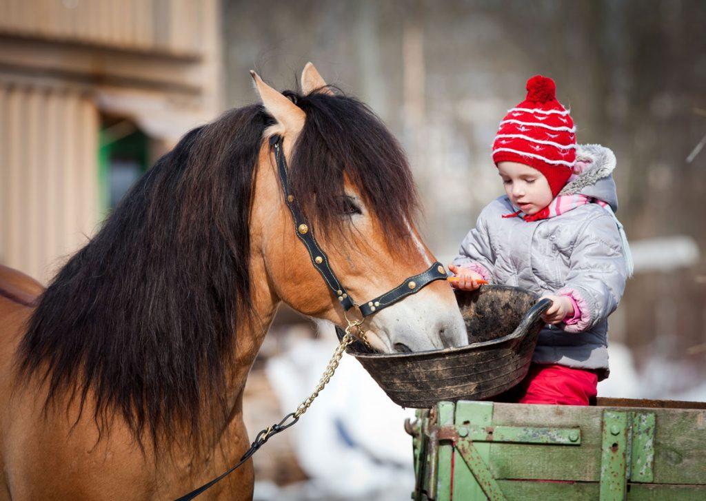 Feeding-a-mash-to-a-horse