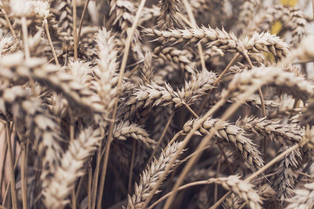 oats - horse feed