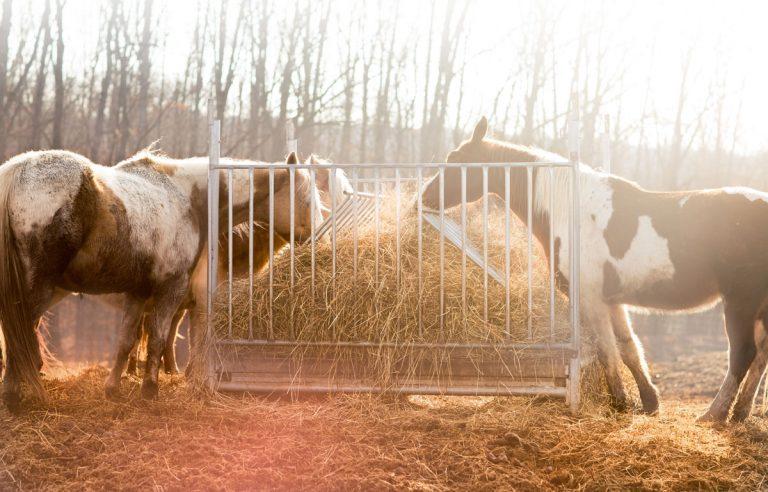 feeding-horses-in-winter